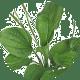 babka-lancetowata Seria Pro Botanic