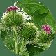 opian-większy Suplementy Diety